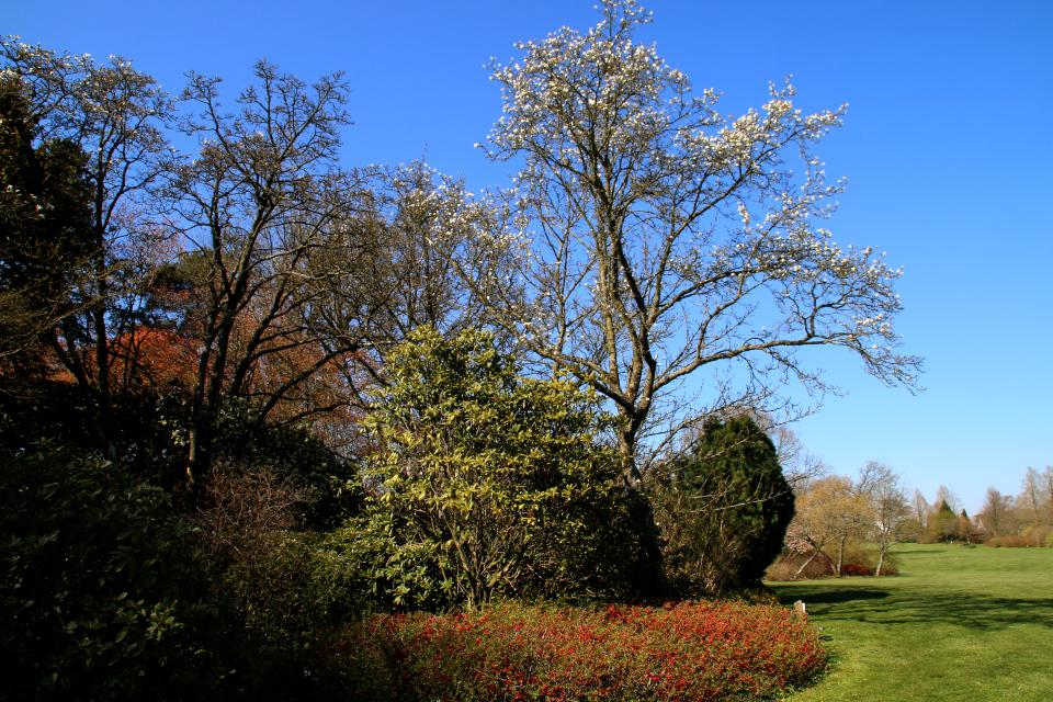 Японская весна в Дании - цветет магнолия иволистная и японская айва