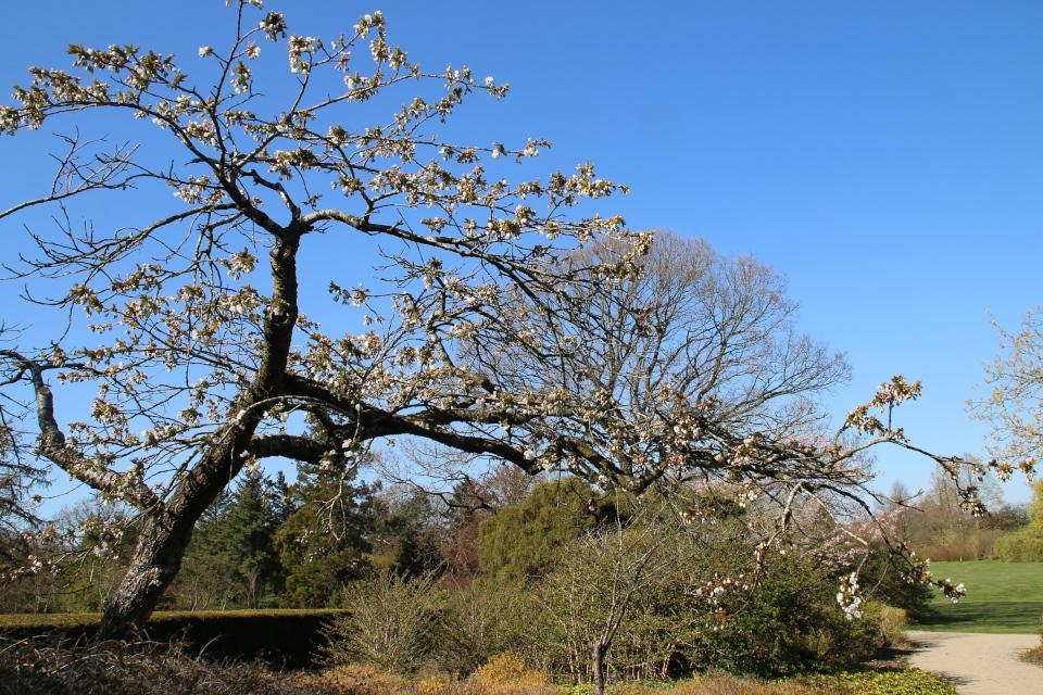 Японская весна в Дании - цветущая сакура вишня мелкопильчатая, сорт Shujaka