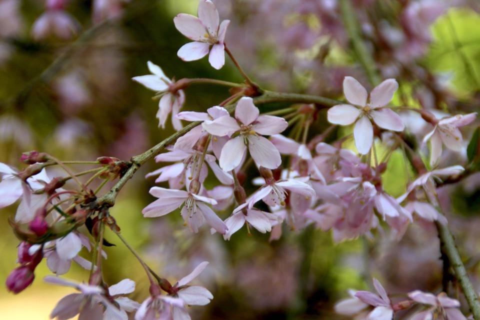 Цветы сакуры Prunus subhirtella сорт Yokohama