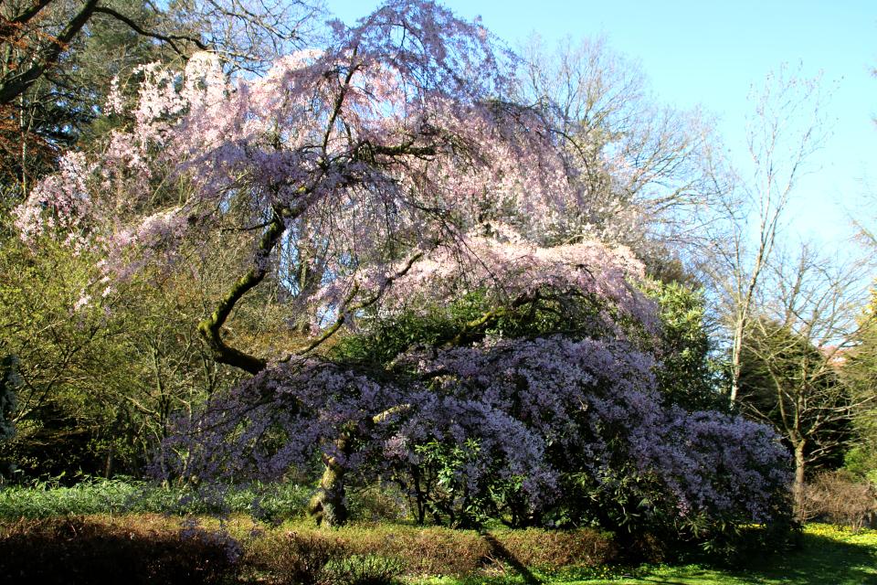 Сакура Prunus subhirtella сорт Yokohama с изящной кроной и обильным цветением