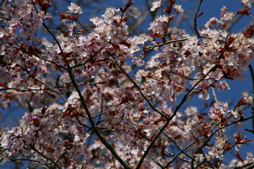 Цветы сакуры, вишни мелкопильчатой, сорт Miyako
