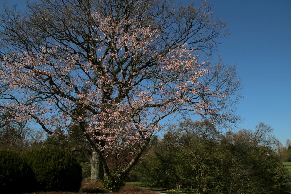 Японская весна в Дании - цветет сакура, вишня мелкопильчатая, сорт Miyako
