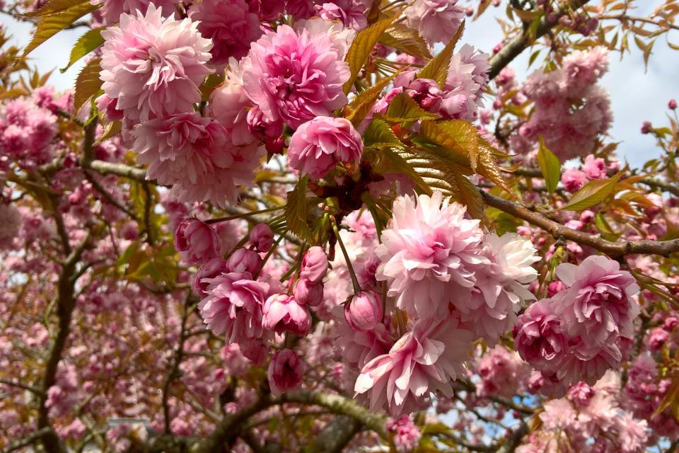 Цветущая сакура сорт Канзан (лат. Prunus serrulata Kanzan)