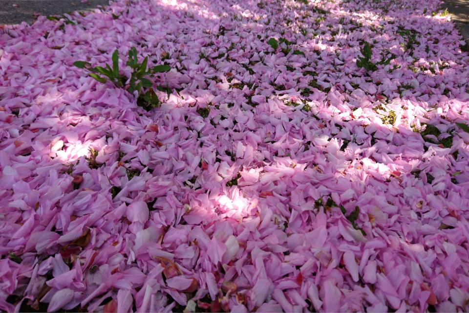 После цветения сакур земля возле деревьев покрывается шатром из лепестков