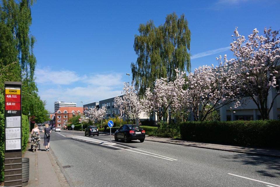 Сакуры в Дании - Японские вишни