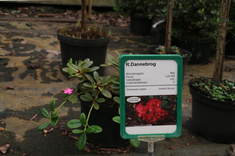 рододендрон Даннеброг (R. Dannebrog)