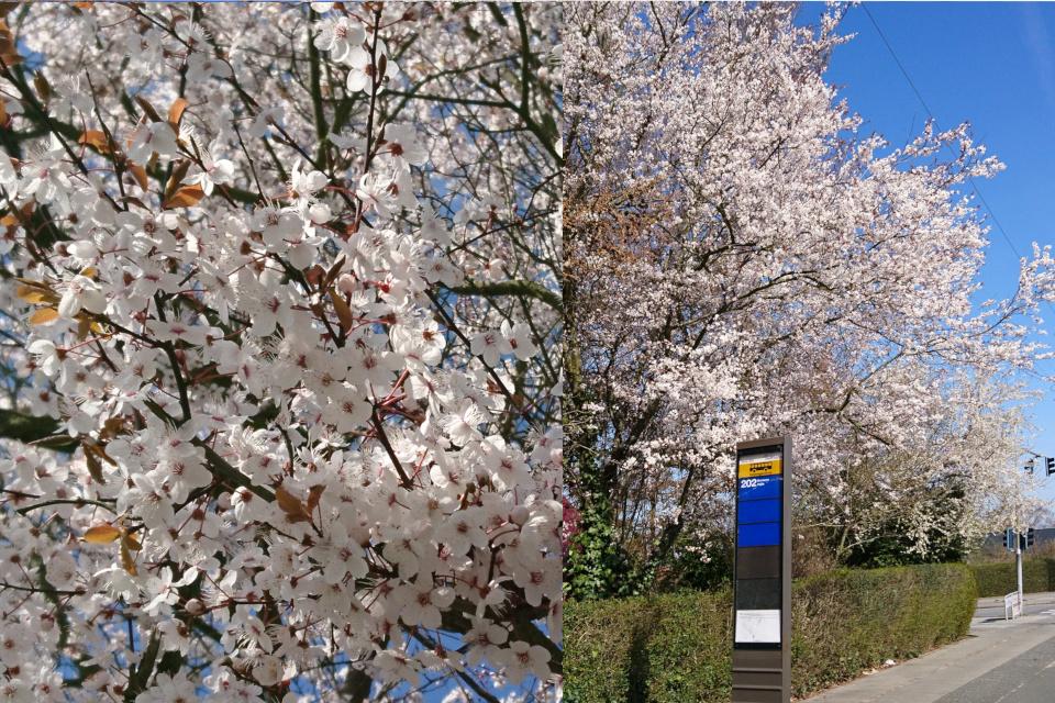 Обильноцветущая темнолистная алыча (Prunus cerasifera)