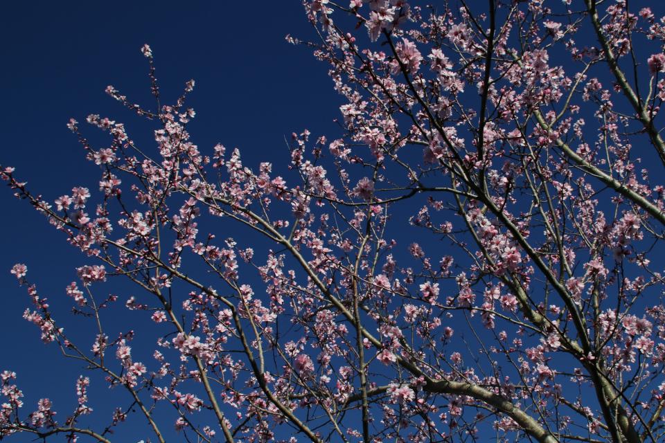 Миндаль в цвету (Prunus dulcis var. Fragilis) в палисаднике моего сада