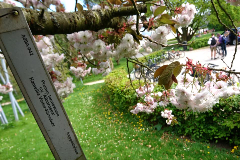 Японская вишня (Prunus lannesiana) цветет в ботаническом саду г. Орхус, Дания