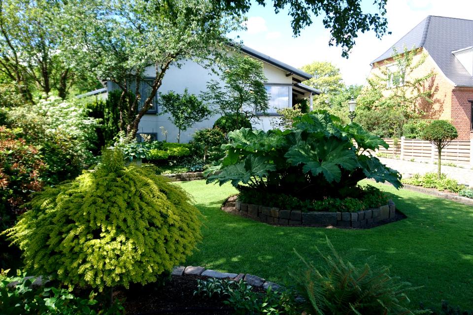 Гуннера влагалищная (лат. Gunnera manicata) в палисаднике дома Кирстен и Ингольфа