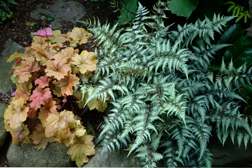 Кочедыжник (Athyrium goeringianum pictum) Гейхера Крем Брюле (Heuchera creme brulee)