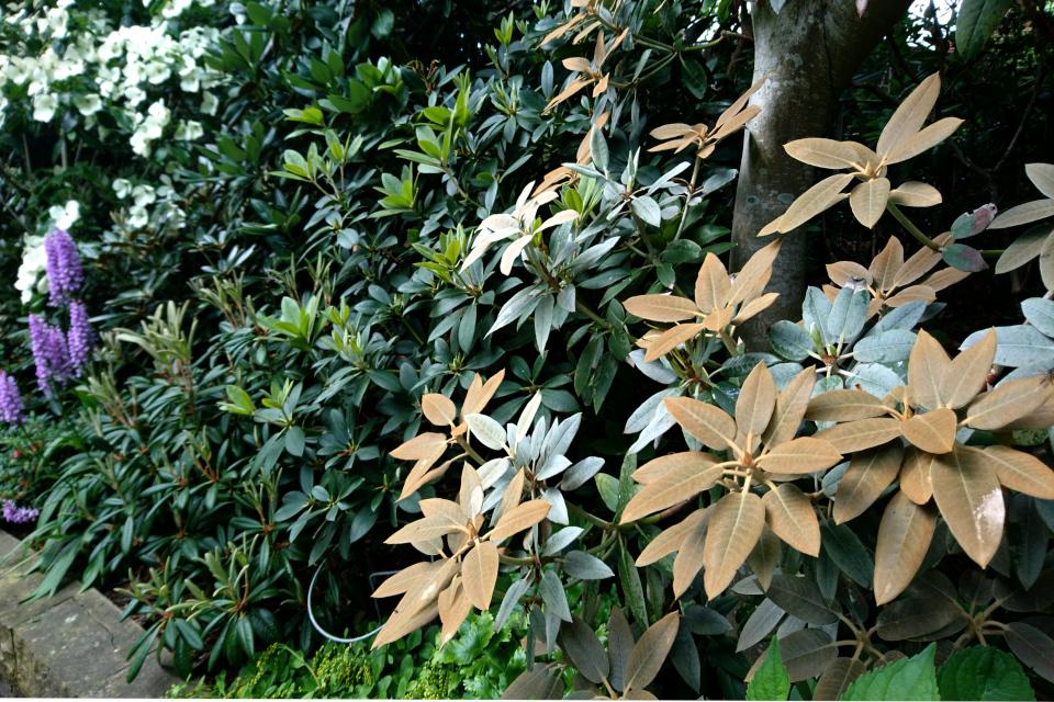 Рододендроны с необычной окраской листьев