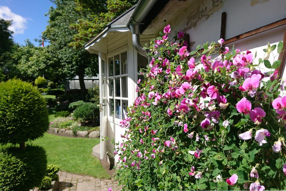 Стена с душистым горошком в саду Кирстен и Ингольфа