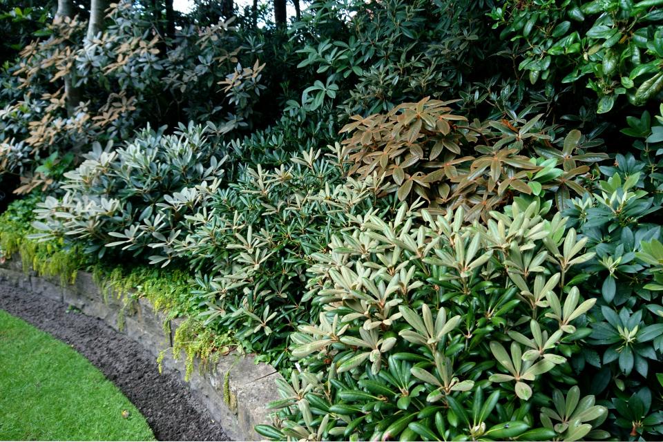 Рододендроны с разными окрасками листьев