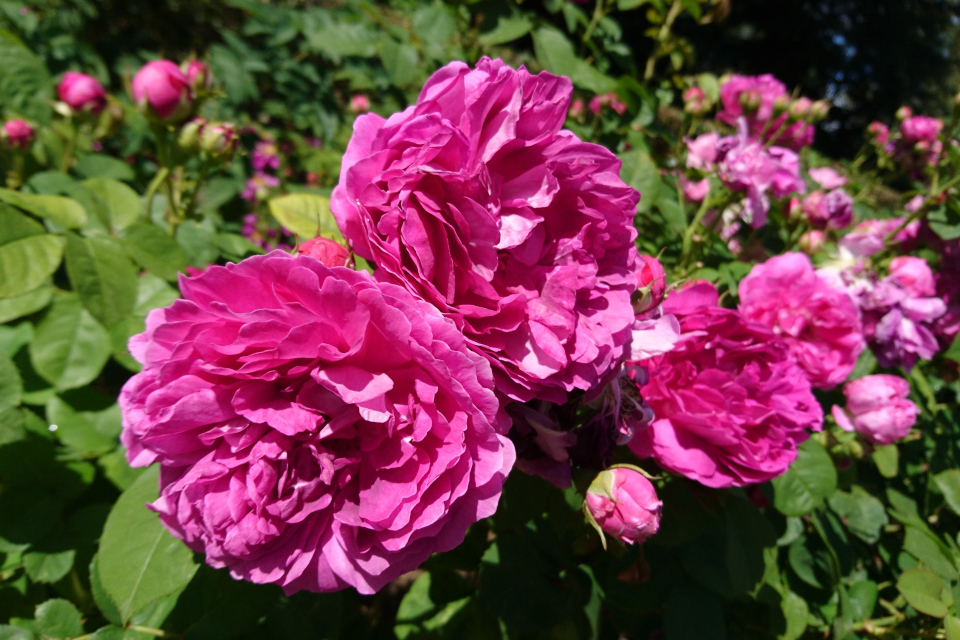 Бурбонская роза Great Western. Фото 3 июл. 2019, г. Фредерисия / Fredericia, Дания