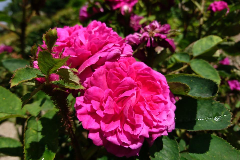 Роза Центифолия Eugénie Guinoisseau. Фото 3 июл. 2019, г. Фредерисия / Fredericia, Дания