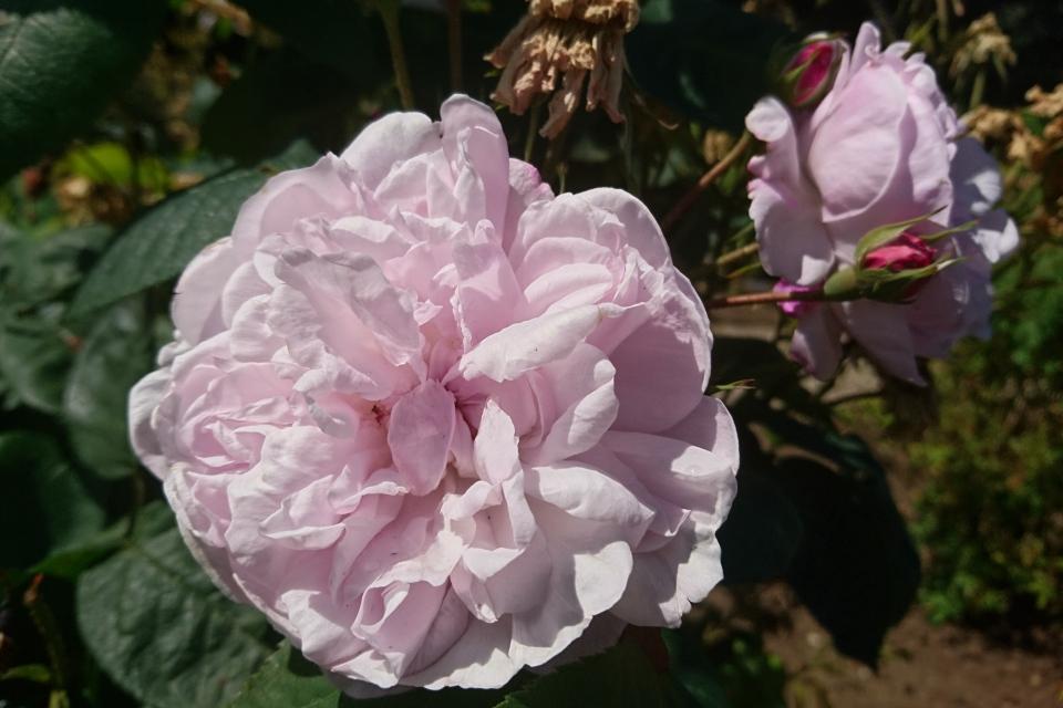 Роза Центифолия Fantin-Latour. Фото 3 июл. 2019, г. Фредерисия / Fredericia, Дания
