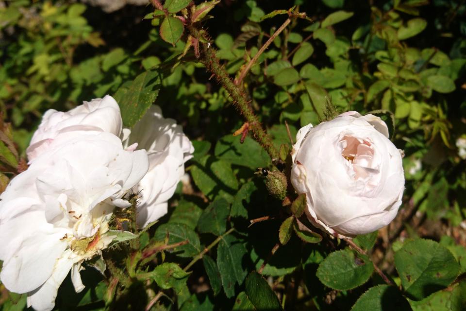 Роза Центифолия Alfred De Dalmas. Фото 3 июл. 2019, г. Фредерисия / Fredericia, Дания