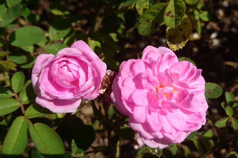 Роза Центифолия Rose de Meaux. Фото 3 июл. 2019, г. Фредерисия / Fredericia, Дания