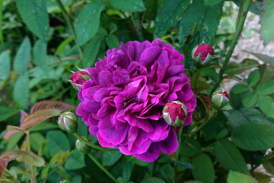 Галльская роза Le rose évêque. Фото 3 июл. 2019, г. Фредерисия / Fredericia, Дания