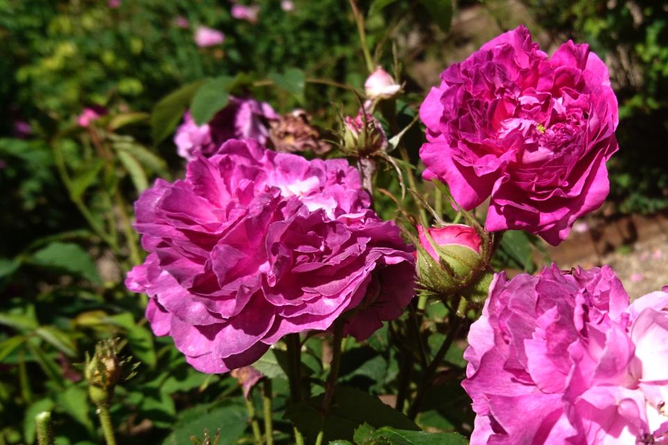 Галльская роза Belle de Crécy. Фото 3 июл. 2019, г. Фредерисия / Fredericia, Дания