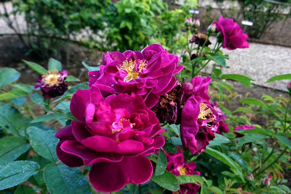 Галльская роза Tuscany Superb. Фото 3 июл. 2019, г. Фредерисия / Fredericia, Дания