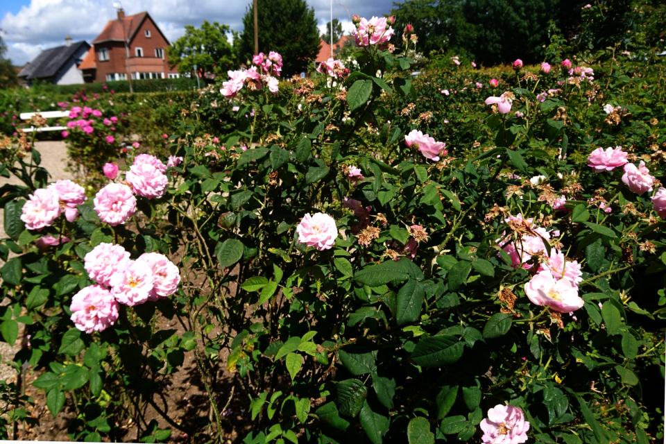 Исторические розы музея Фредерисия Дания. Дамасская роза Belle Amour