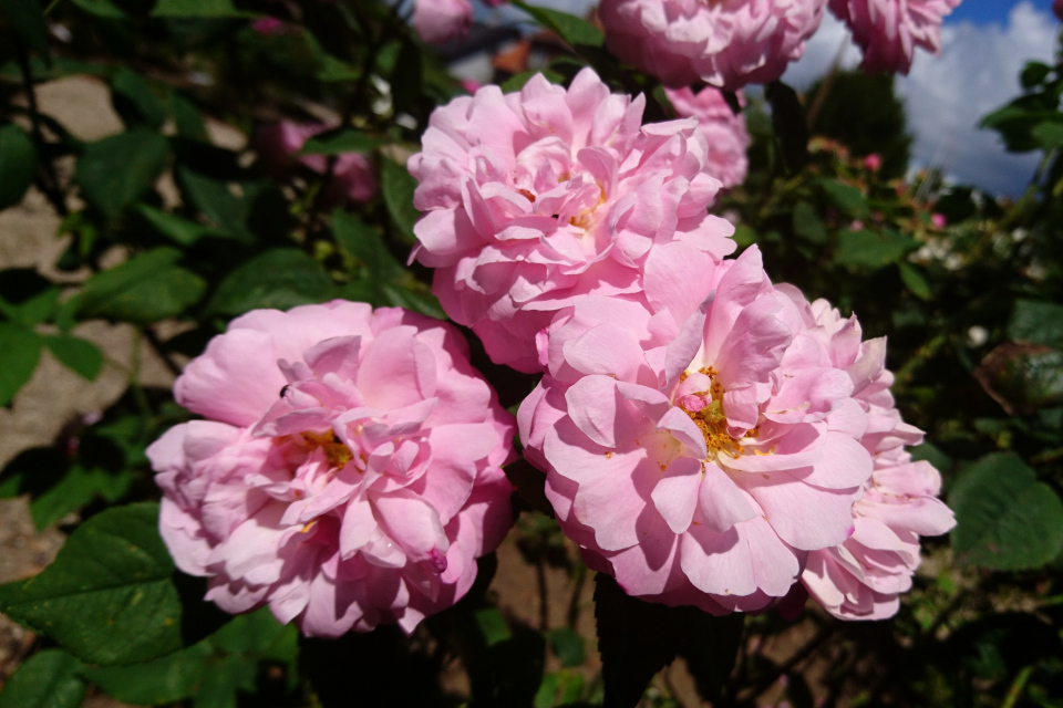 Дамасская роза Belle Amour. Фото 3 июл. 2019, г. Фредерисия / Fredericia, Дания