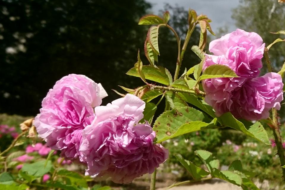 Дамасская роза Blush Damask. Фото 3 июл. 2019, г. Фредерисия / Fredericia, Дания