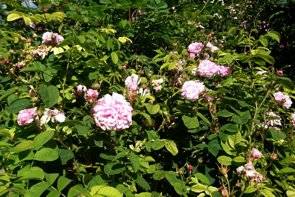 Дамасская роза Trigintipetala / Kazanlik. Фото 3 июл. 2019, г. Фредерисия / Fredericia, Дания