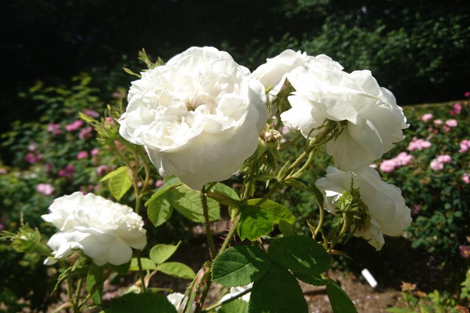 Дамасская роза Mme Zoetmans. Фото 3 июл. 2019, г. Фредерисия / Fredericia, Дания