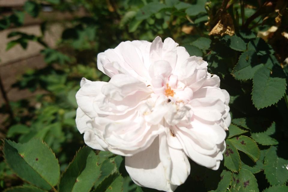 Дамасская роза Stanwell Perpetual. Фото 3 июл. 2019, г. Фредерисия / Fredericia, Дания