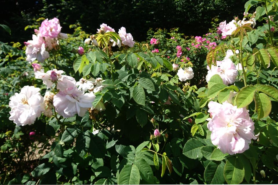 Дамасская роза Celsiana. Фото 3 июл. 2019, г. Фредерисия / Fredericia, Дания