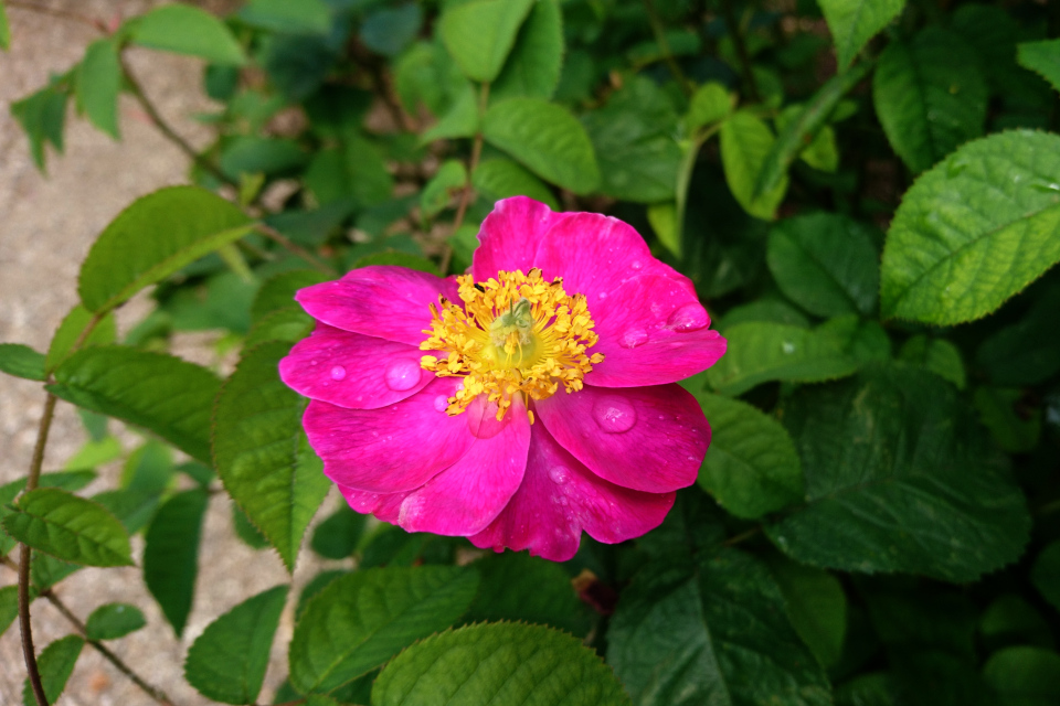 Галльская роза La Belle Sultane. Фото 3 июл. 2019, г. Фредерисия / Fredericia, Дания