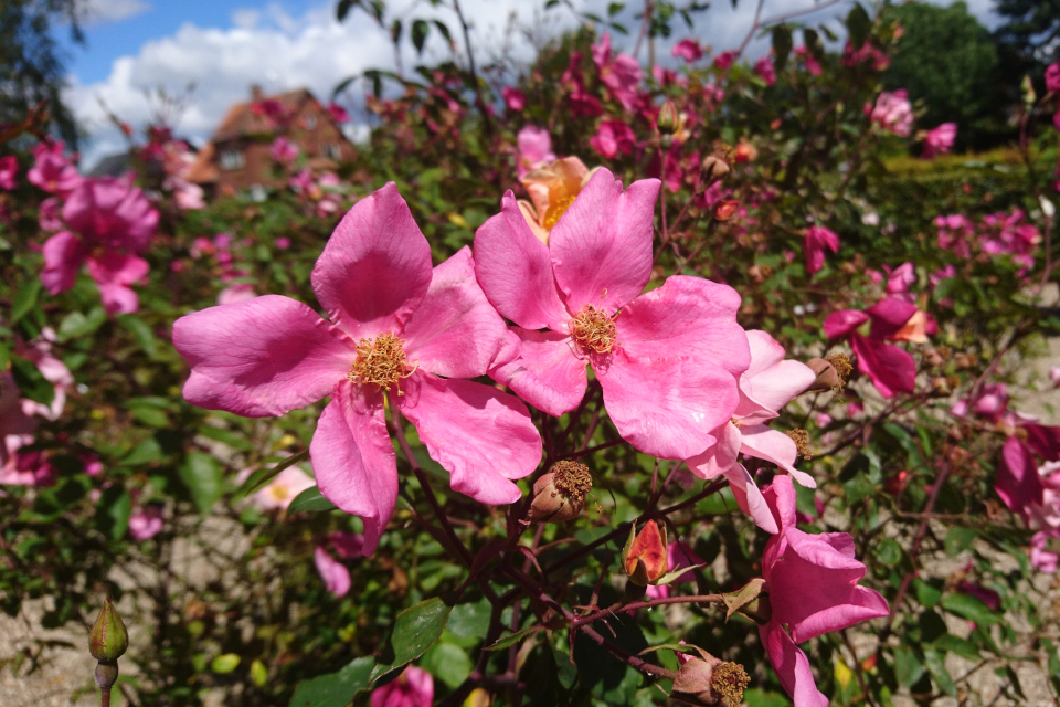 Китайская роза Mutabilis / Butterfly Rose.Фото 3 июл. 2019, г. Фредерисия / Fredericia, Дания