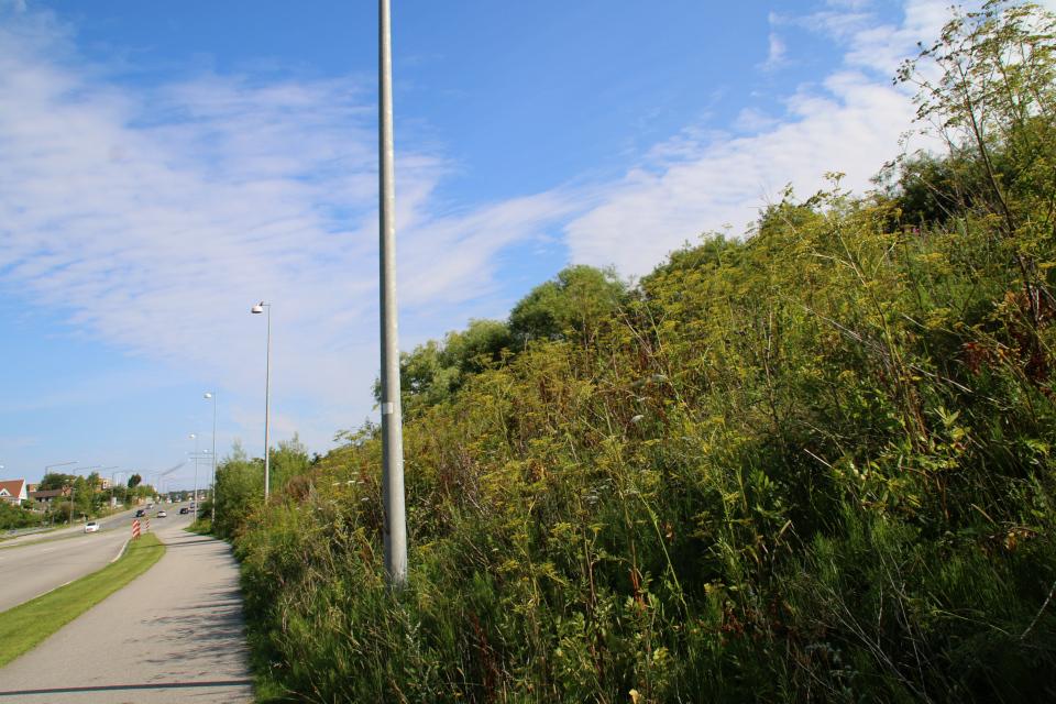 Пастернак посевной растет возле дороги, г. Орхус / Aarhus, Дания