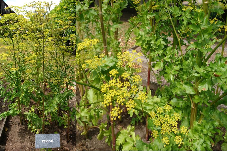 Пастернак посевной на грядках культурных растений Дании