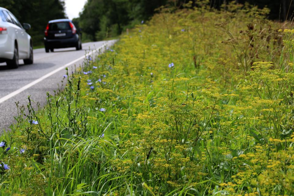 Пастернак посевной растет вдоль дороги, Дания