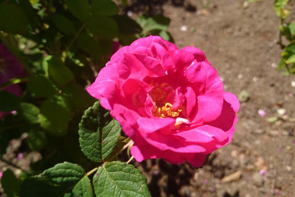 Портлендская роза Duchess of Portland. Фото 3 июл. 2019, г. Фредерисия / Fredericia, Дания