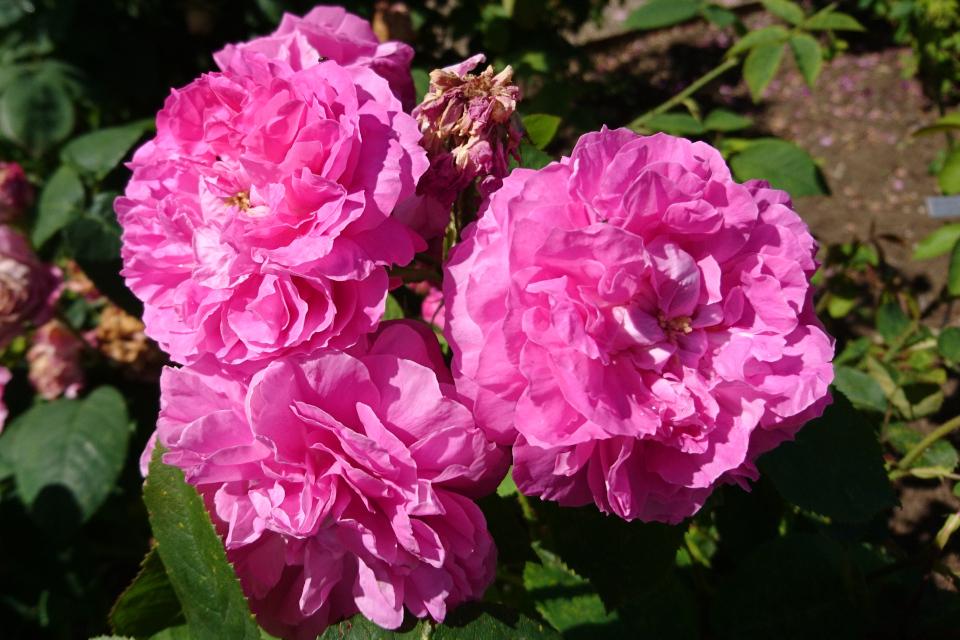 Роза ремонтантный гибрид Baronne Prevost.