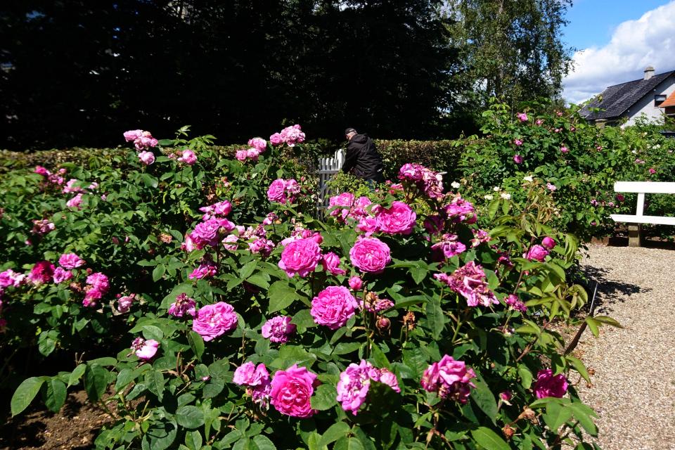 Роза ремонтантный гибрид 'Reine des Violettes'.