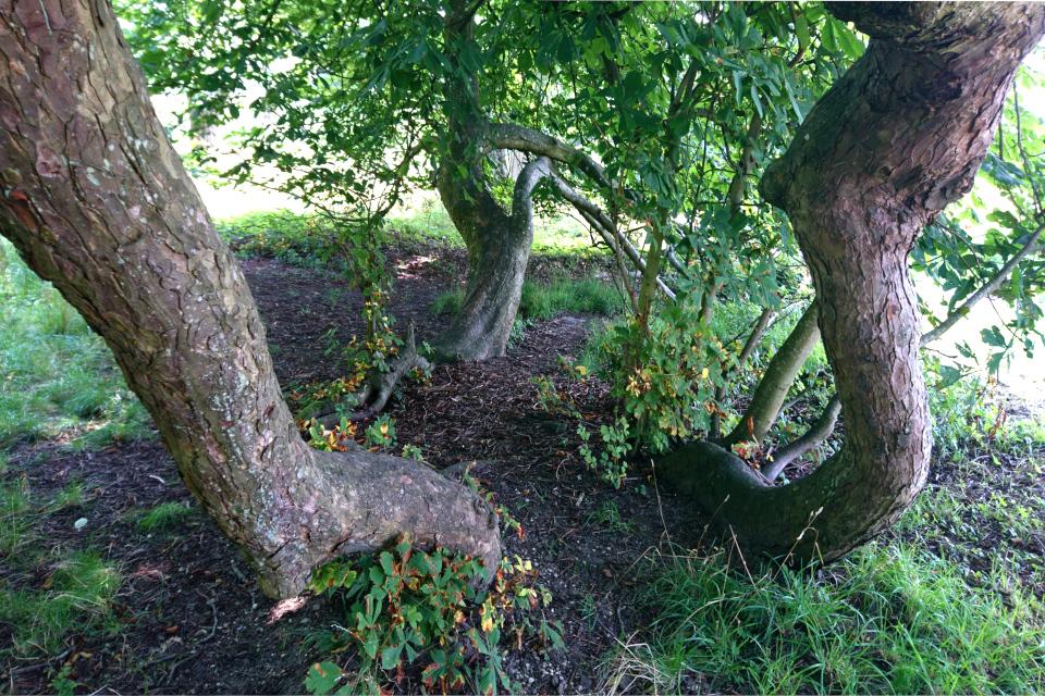 Укоренившиеся ветки и прорастающие новые деревья