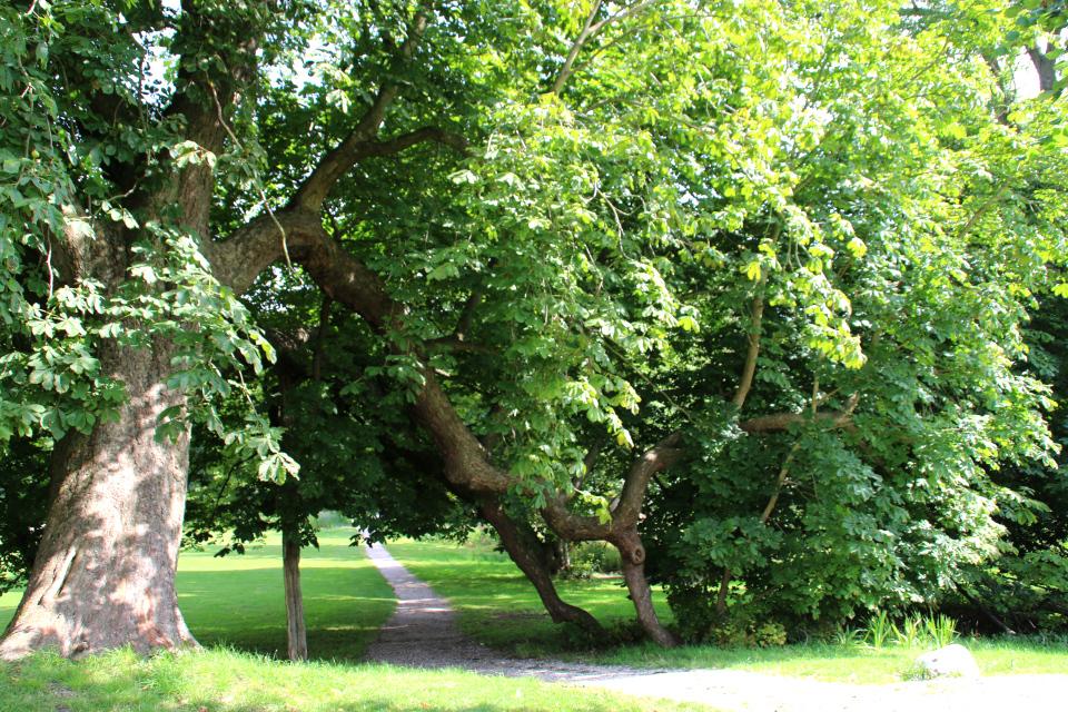 Конский каштан: дерево – памятник живой природы в парке старинного поместья Мосгорд