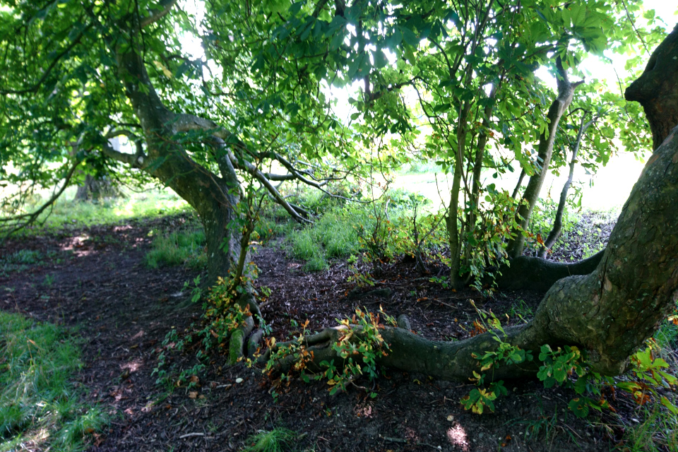 С левой стороны - опустившаяся до земли ветка, от которой прорастают новые деревья.