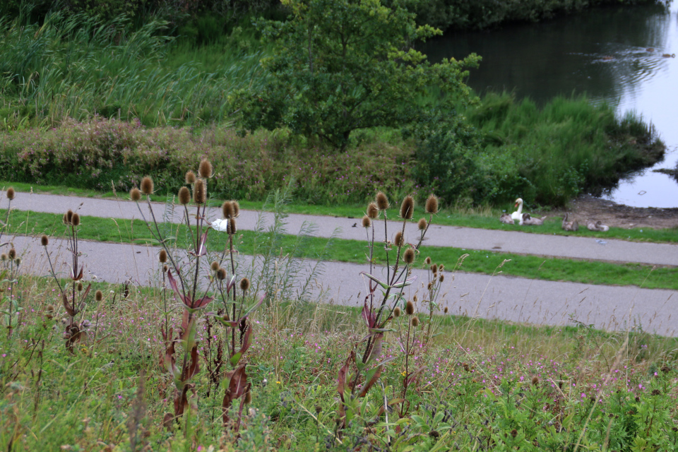 Дикорастущая ворсянка на холмах Hasle Bakker возле лебединого озера, г. Орхус, Дания