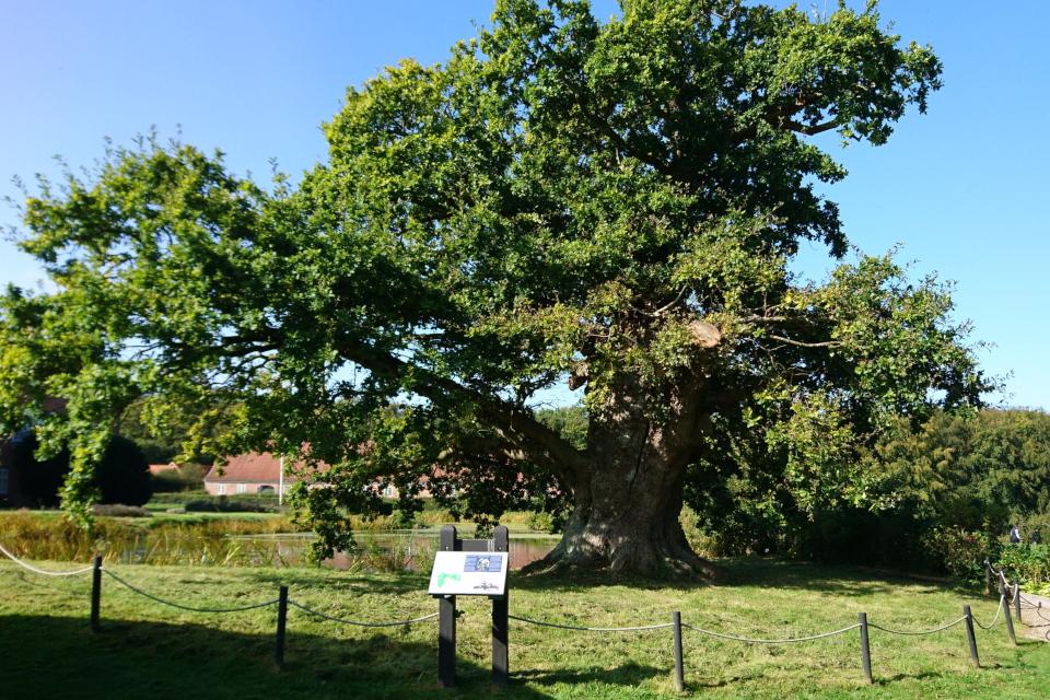 Дуб замка Боллер (дат. Bolleregen) - памятник живой природы.