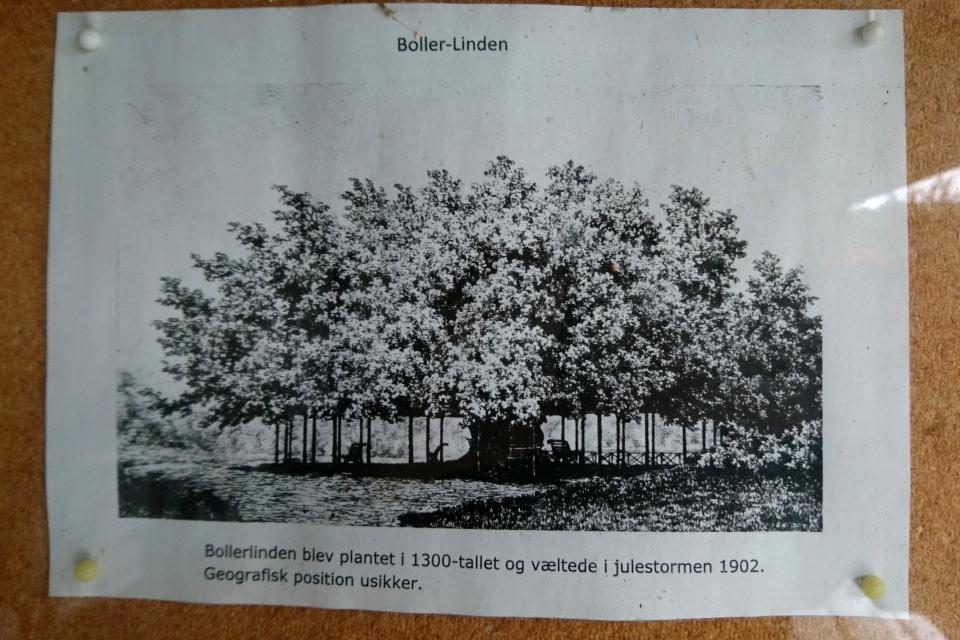 Фотография старой липы ( Boller-Linden)
