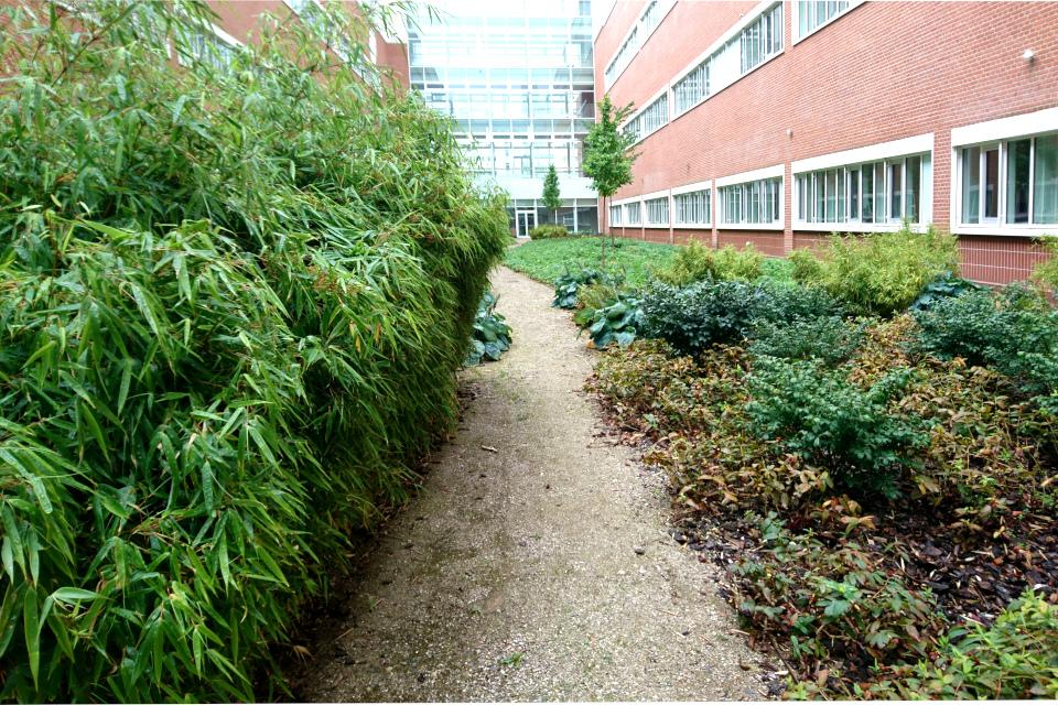 Бамбук в озеленении внутреннего сада.