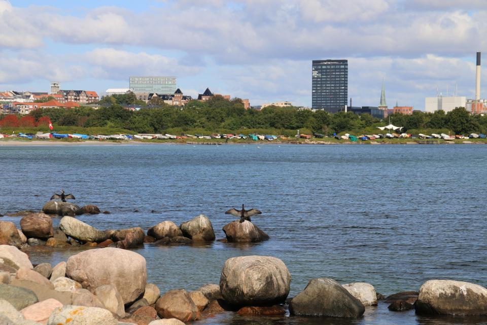 Большие бакланы сушат крылья на камнях побережья Тангкроэн в Орхусе, Дания