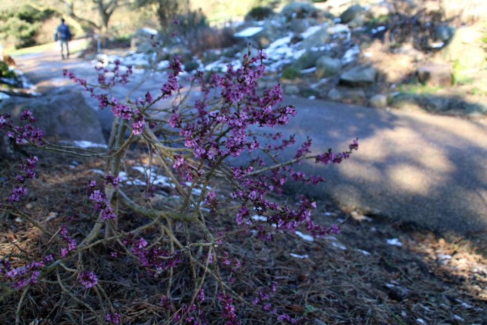 Цветущий волчеягодник обыкновенный (Daphne mezereum) - Каулифлория